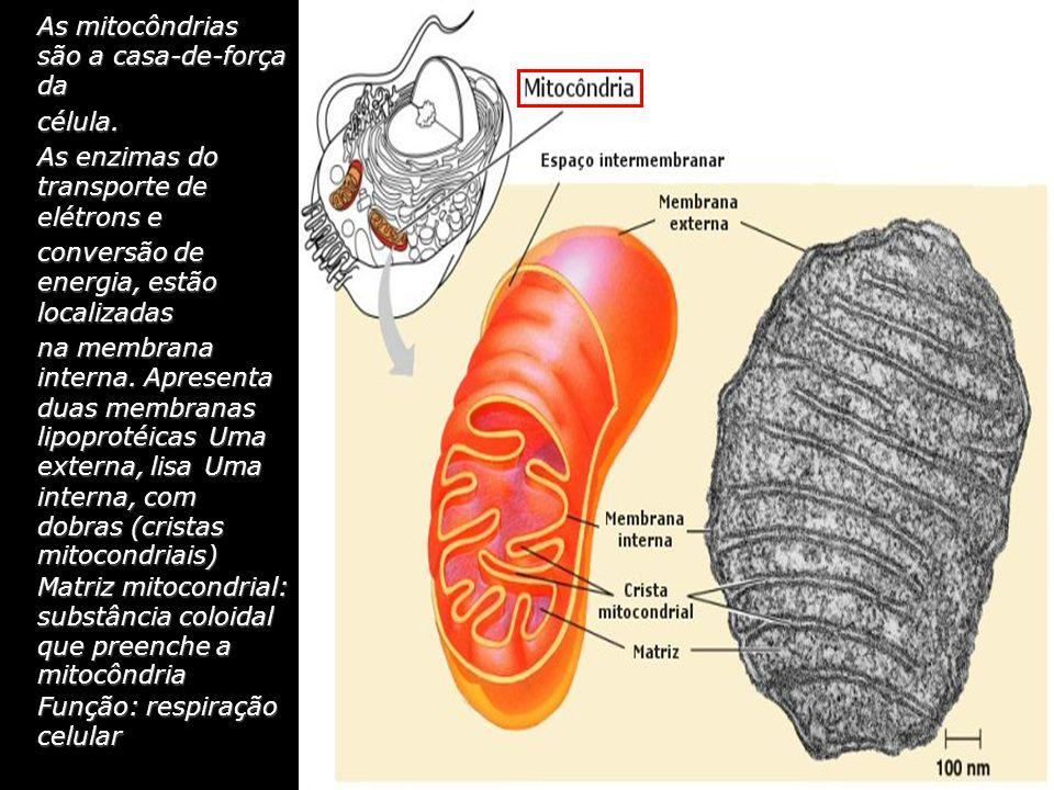 As mitocôndrias são a casa-de-força da célula. As enzimas do transporte de elétrons e conversão de energia, estão localizadas na membrana interna. Apr