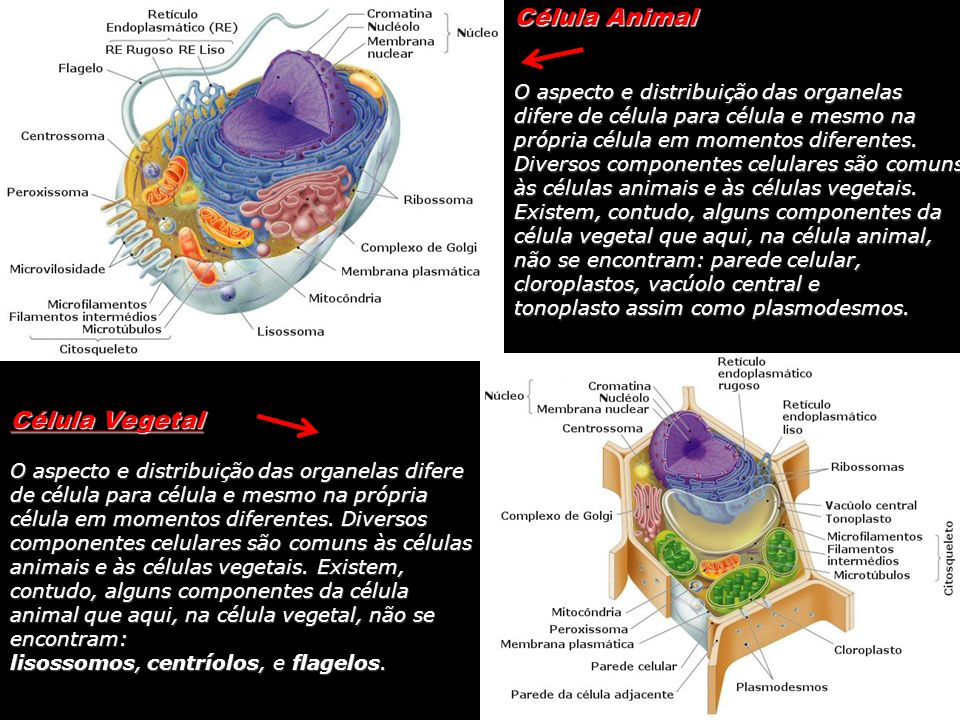 Célula Vegetal O aspecto e distribuição das organelas difere de célula para célula e mesmo na própria célula em momentos diferentes. Diversos componen