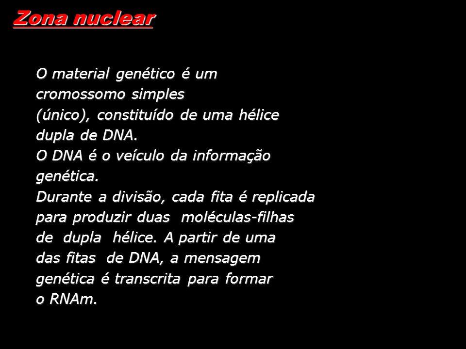 Zona nuclear O material genético é um cromossomo simples (único), constituído de uma hélice dupla de DNA. O DNA é o veículo da informação genética. Du