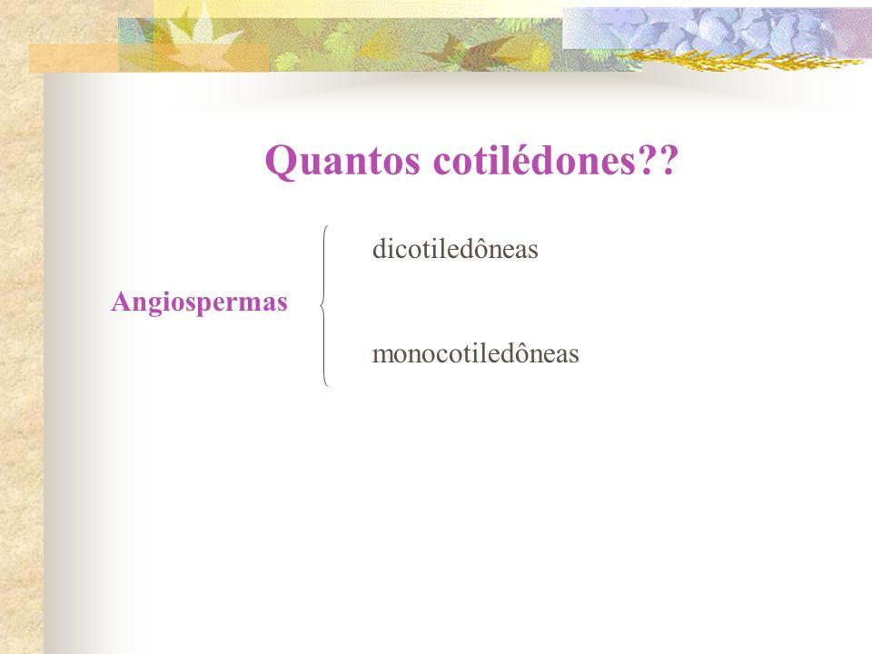 Quantos cotilédones?? dicotiledôneas Angiospermas monocotiledôneas