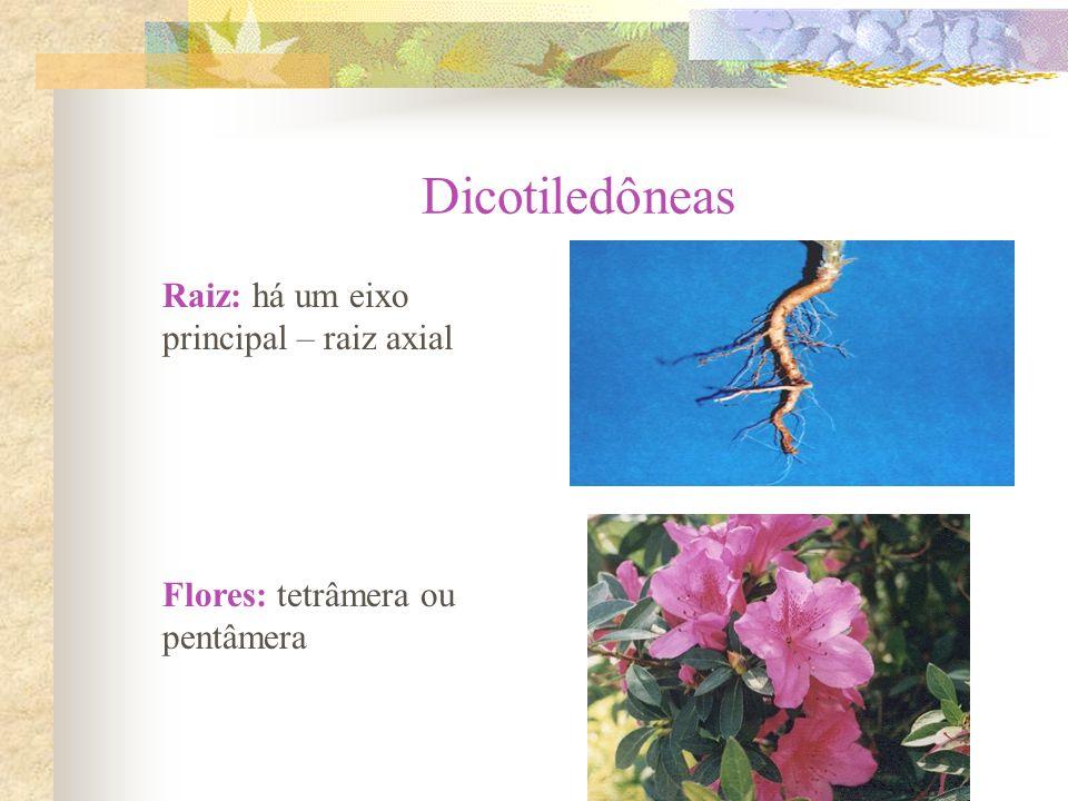 Raiz: há um eixo principal – raiz axial Flores: tetrâmera ou pentâmera