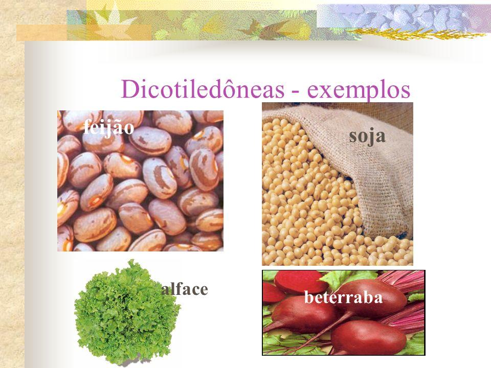 Dicotiledôneas - exemplos feijão soja alface beterraba