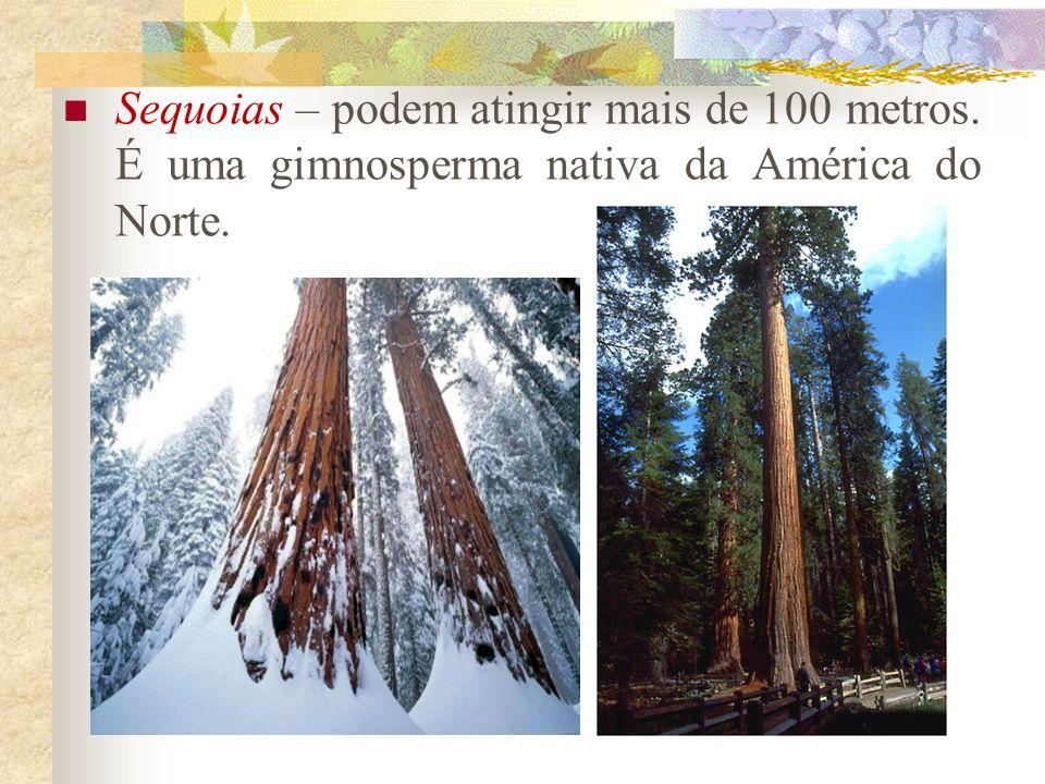 Sequoias – podem atingir mais de 100 metros. É uma gimnosperma nativa da América do Norte.