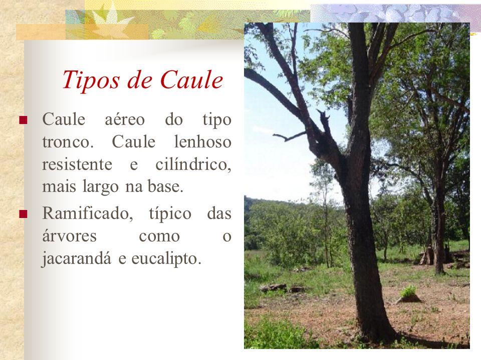 Tipos de Caule Caule aéreo do tipo tronco. Caule lenhoso resistente e cilíndrico, mais largo na base. Ramificado, típico das árvores como o jacarandá