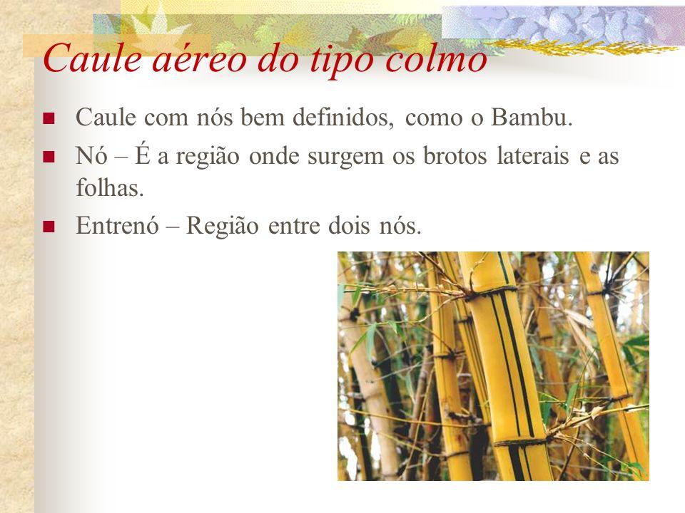 Caule aéreo do tipo colmo Caule com nós bem definidos, como o Bambu. Nó – É a região onde surgem os brotos laterais e as folhas. Entrenó – Região entr