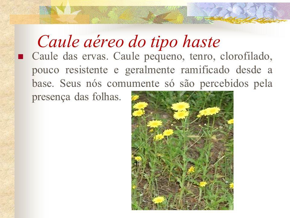 Caule aéreo do tipo haste Caule das ervas. Caule pequeno, tenro, clorofilado, pouco resistente e geralmente ramificado desde a base. Seus nós comument