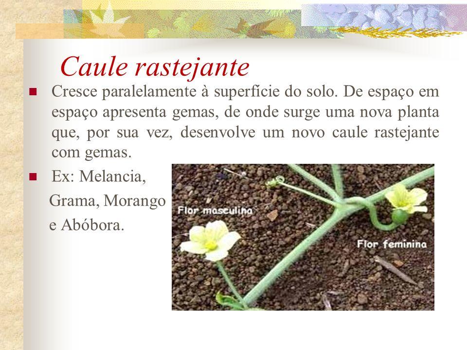 Caule rastejante Cresce paralelamente à superfície do solo. De espaço em espaço apresenta gemas, de onde surge uma nova planta que, por sua vez, desen