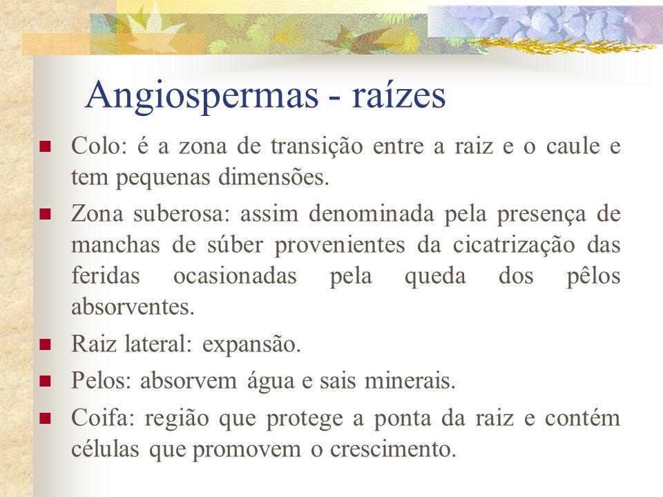 Angiospermas - raízes Colo: é a zona de transição entre a raiz e o caule e tem pequenas dimensões. Zona suberosa: assim denominada pela presença de ma