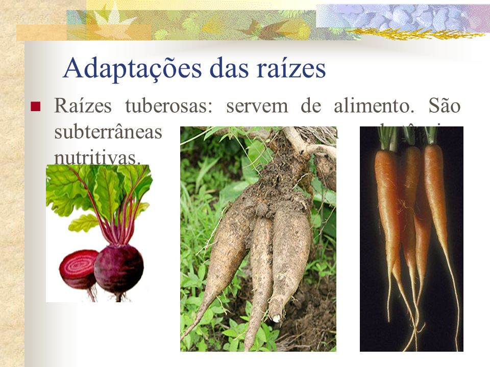 Adaptações das raízes Raízes tuberosas: servem de alimento. São subterrâneas que armazenam substâncias nutritivas.