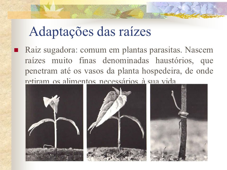 Adaptações das raízes Raiz sugadora: comum em plantas parasitas. Nascem raízes muito finas denominadas haustórios, que penetram até os vasos da planta