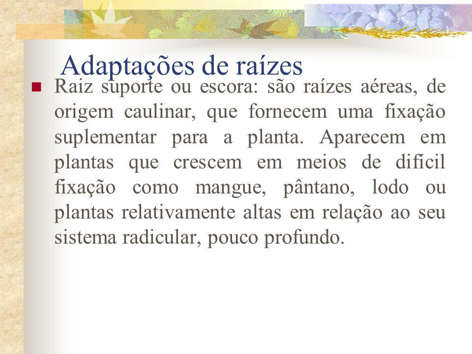 Adaptações de raízes Raiz suporte ou escora: são raízes aéreas, de origem caulinar, que fornecem uma fixação suplementar para a planta. Aparecem em pl