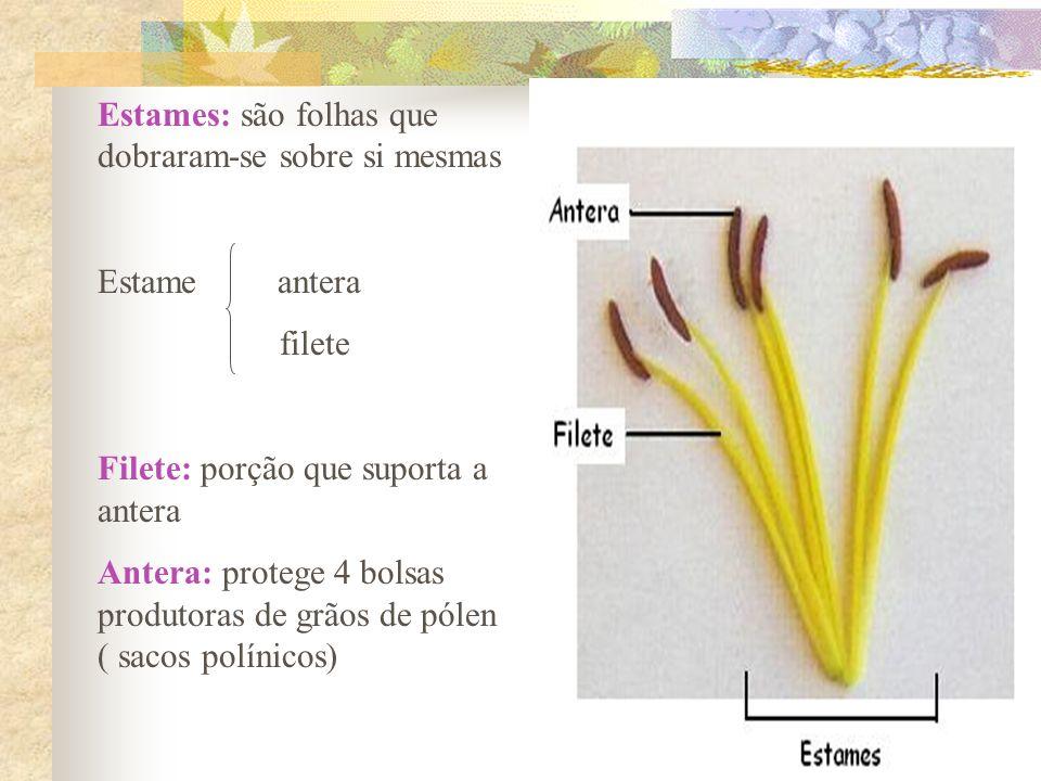 Estames: são folhas que dobraram-se sobre si mesmas Estame antera filete Filete: porção que suporta a antera Antera: protege 4 bolsas produtoras de gr