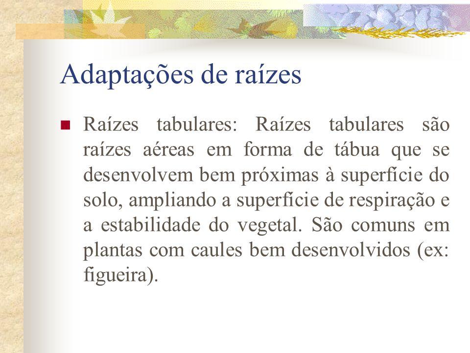 Adaptações de raízes Raízes tabulares: Raízes tabulares são raízes aéreas em forma de tábua que se desenvolvem bem próximas à superfície do solo, ampl