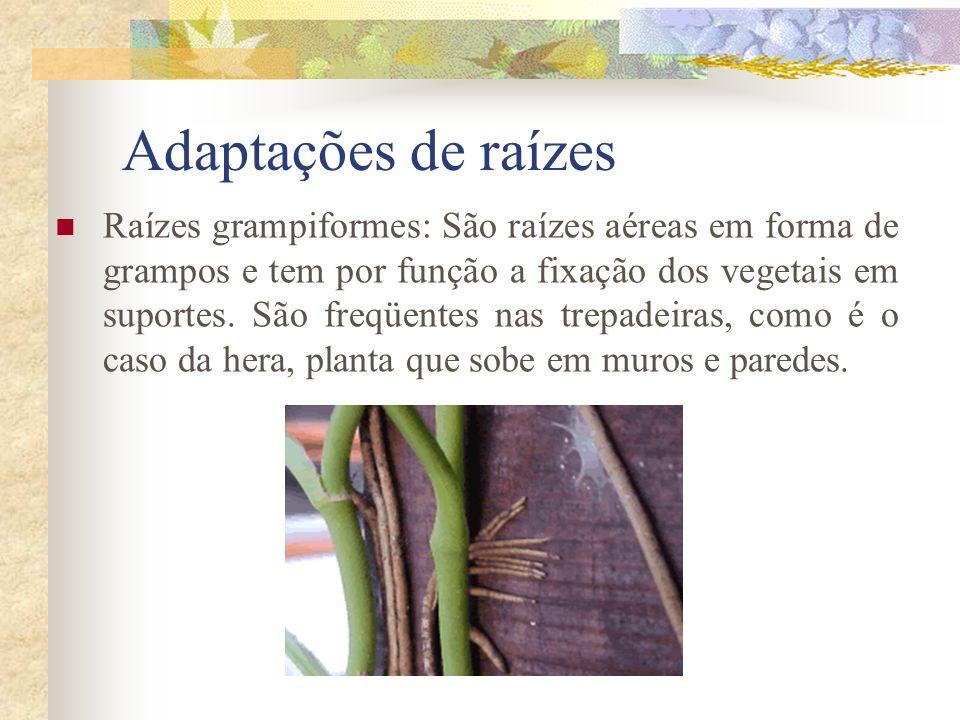 Adaptações de raízes Raízes grampiformes: São raízes aéreas em forma de grampos e tem por função a fixação dos vegetais em suportes. São freqüentes na