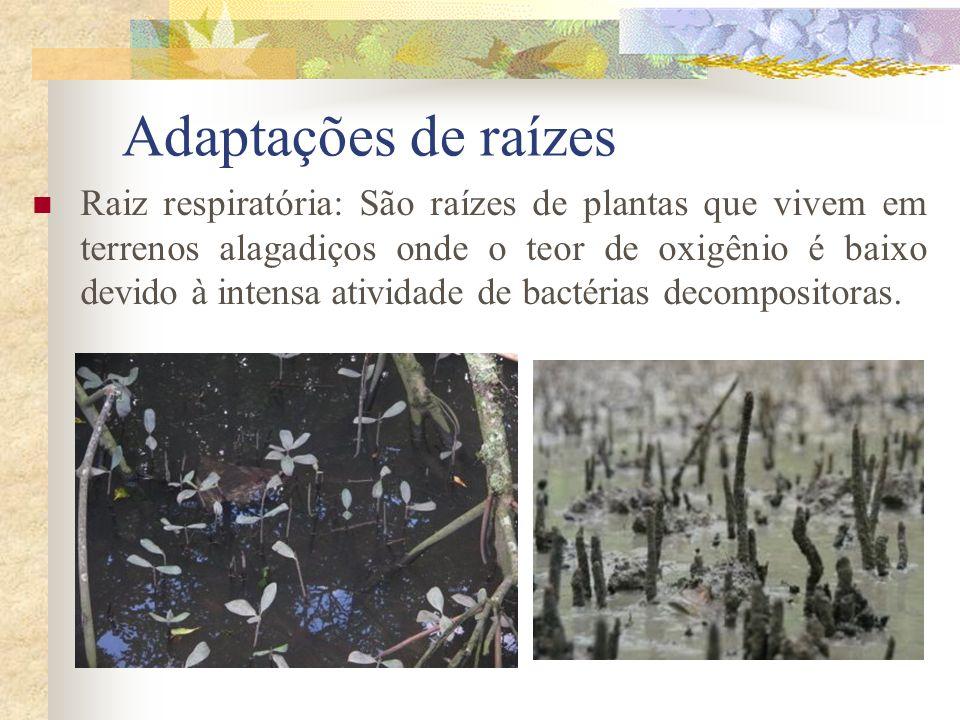 Adaptações de raízes Raiz respiratória: São raízes de plantas que vivem em terrenos alagadiços onde o teor de oxigênio é baixo devido à intensa ativid