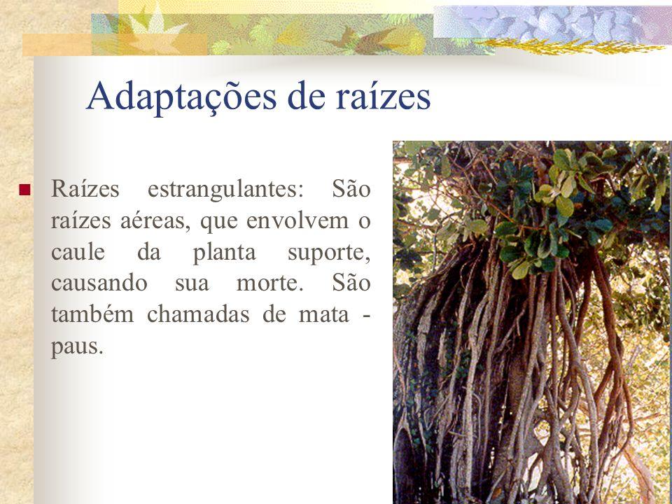 Adaptações de raízes Raízes estrangulantes: São raízes aéreas, que envolvem o caule da planta suporte, causando sua morte. São também chamadas de mata