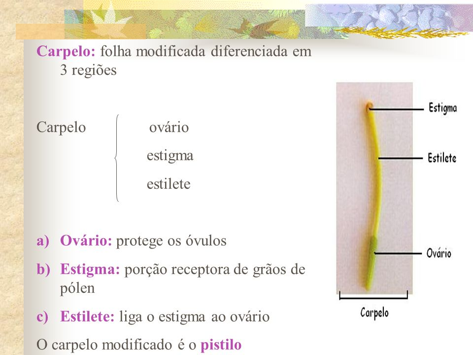 Carpelo: folha modificada diferenciada em 3 regiões Carpelo ovário estigma estilete a)Ovário: protege os óvulos b)Estigma: porção receptora de grãos d