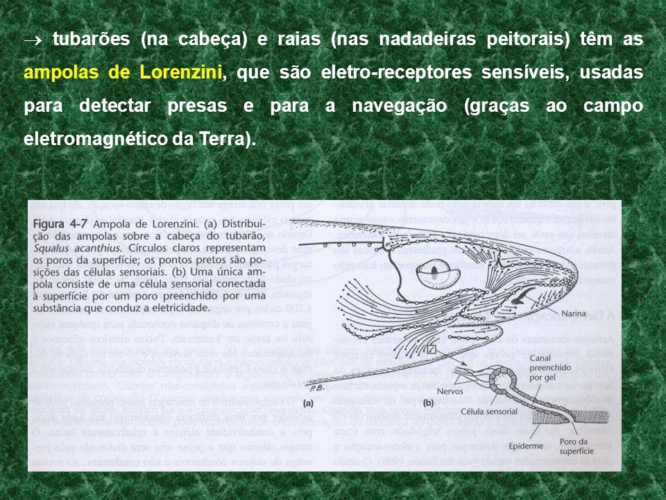 tubarões (na cabeça) e raias (nas nadadeiras peitorais) têm as ampolas de Lorenzini, que são eletro-receptores sensíveis, usadas para detectar presas