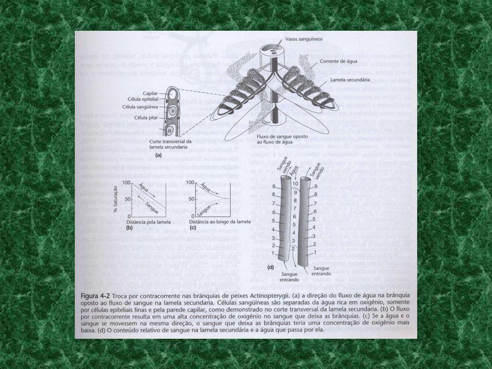 peixes que vivem em locais com baixa concentração de O 2 apresentam estruturas respiratórias acessórias que permitem a respiração aérea (lábios aumentados, modificações da forma da boca, bexigas natatórias vascularizadas como pulmões, porções do estômago e intestino que realizam trocas gasosas, etc).