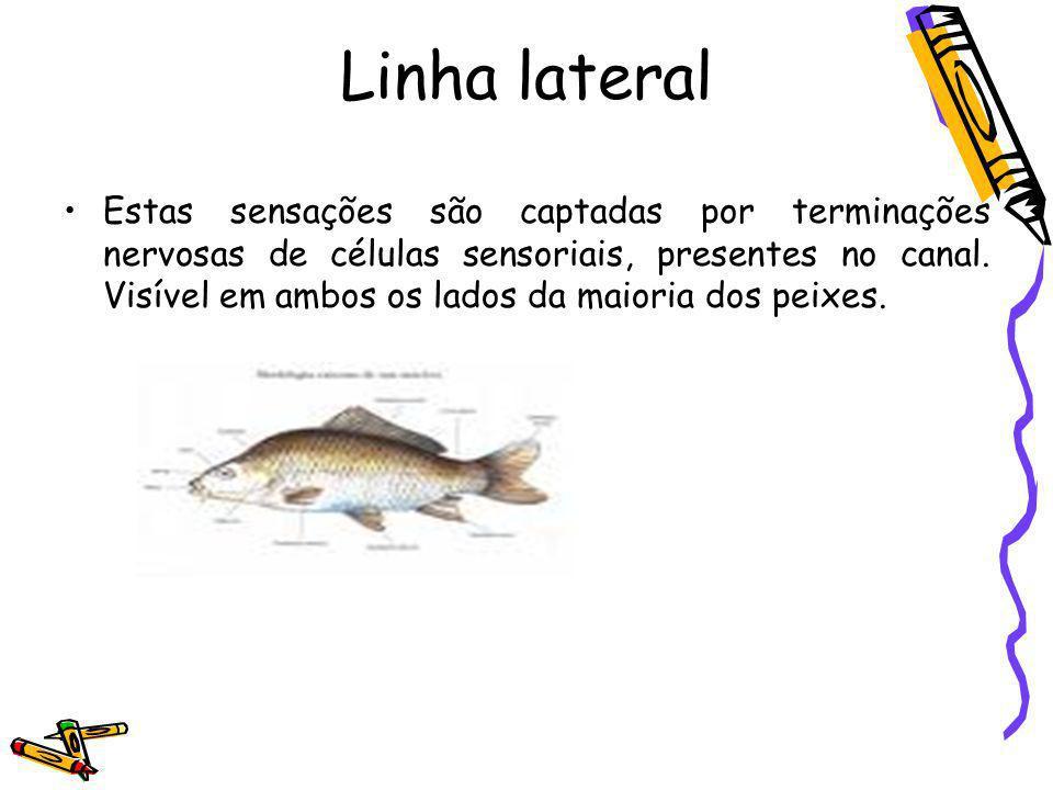 Linha lateral Estas sensações são captadas por terminações nervosas de células sensoriais, presentes no canal. Visível em ambos os lados da maioria do