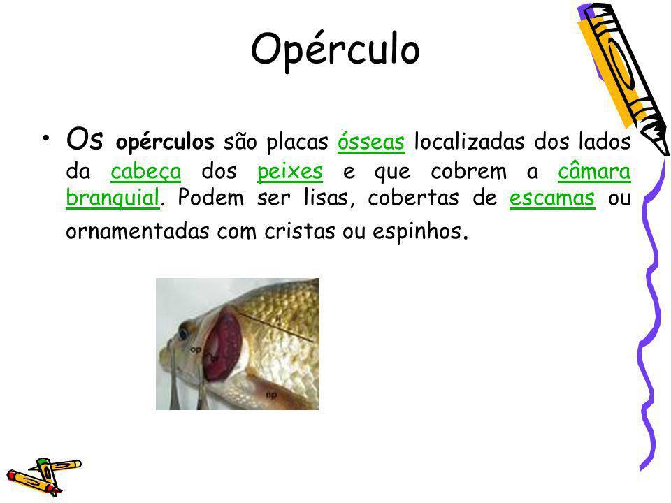 Opérculo Os opérculos são placas ósseas localizadas dos lados da cabeça dos peixes e que cobrem a câmara branquial. Podem ser lisas, cobertas de escam