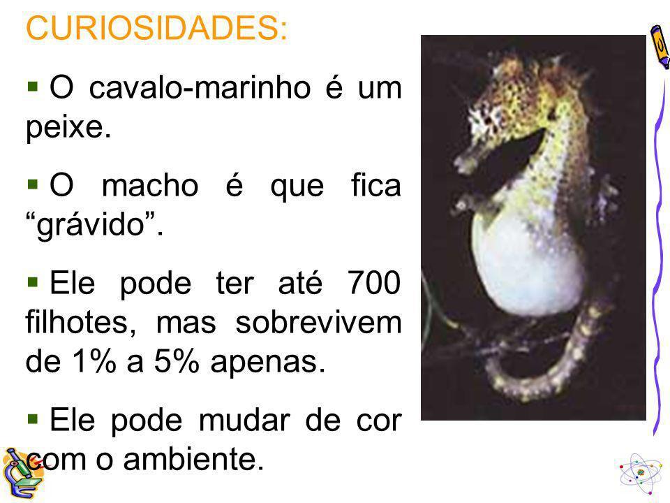 CURIOSIDADES: O cavalo-marinho é um peixe. O macho é que fica grávido. Ele pode ter até 700 filhotes, mas sobrevivem de 1% a 5% apenas. Ele pode mudar