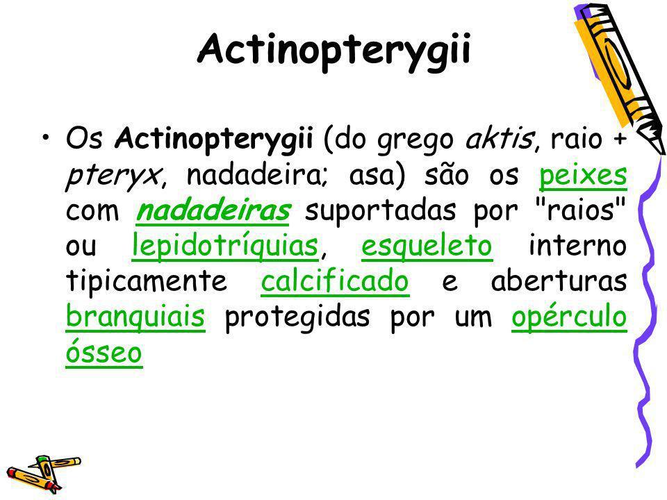 Actinopterygii Os Actinopterygii (do grego aktis, raio + pteryx, nadadeira; asa) são os peixes com nadadeiras suportadas por