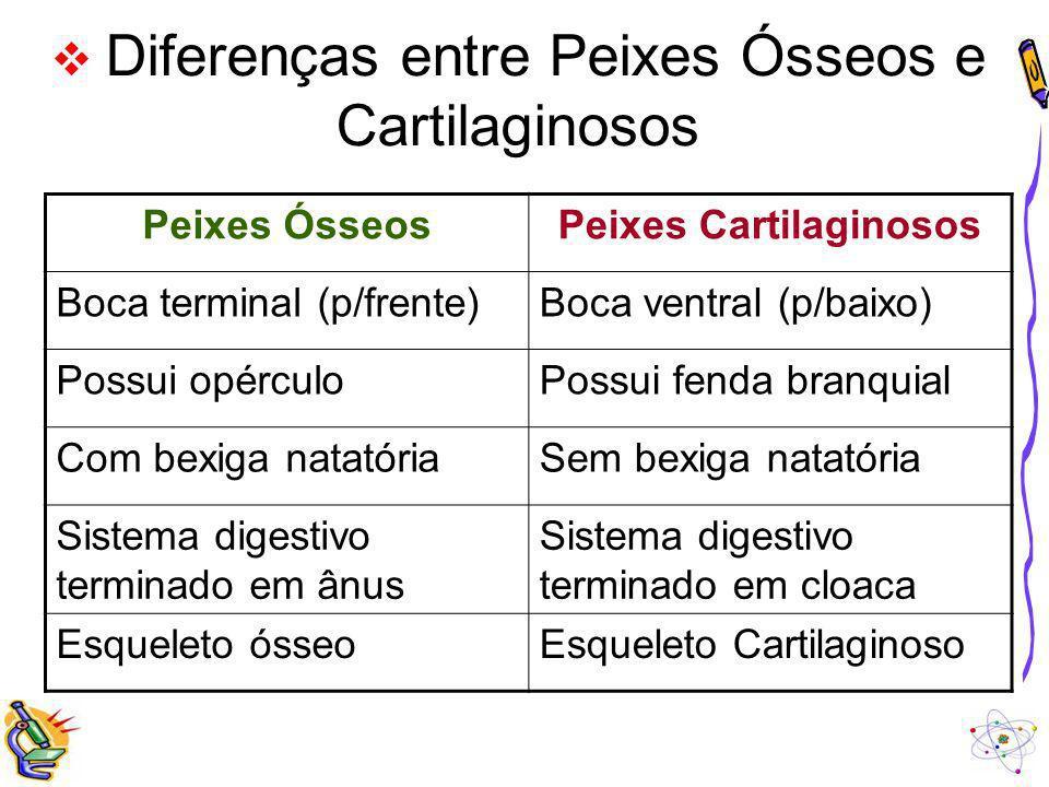 Diferenças entre Peixes Ósseos e Cartilaginosos Peixes ÓsseosPeixes Cartilaginosos Boca terminal (p/frente)Boca ventral (p/baixo) Possui opérculoPossu