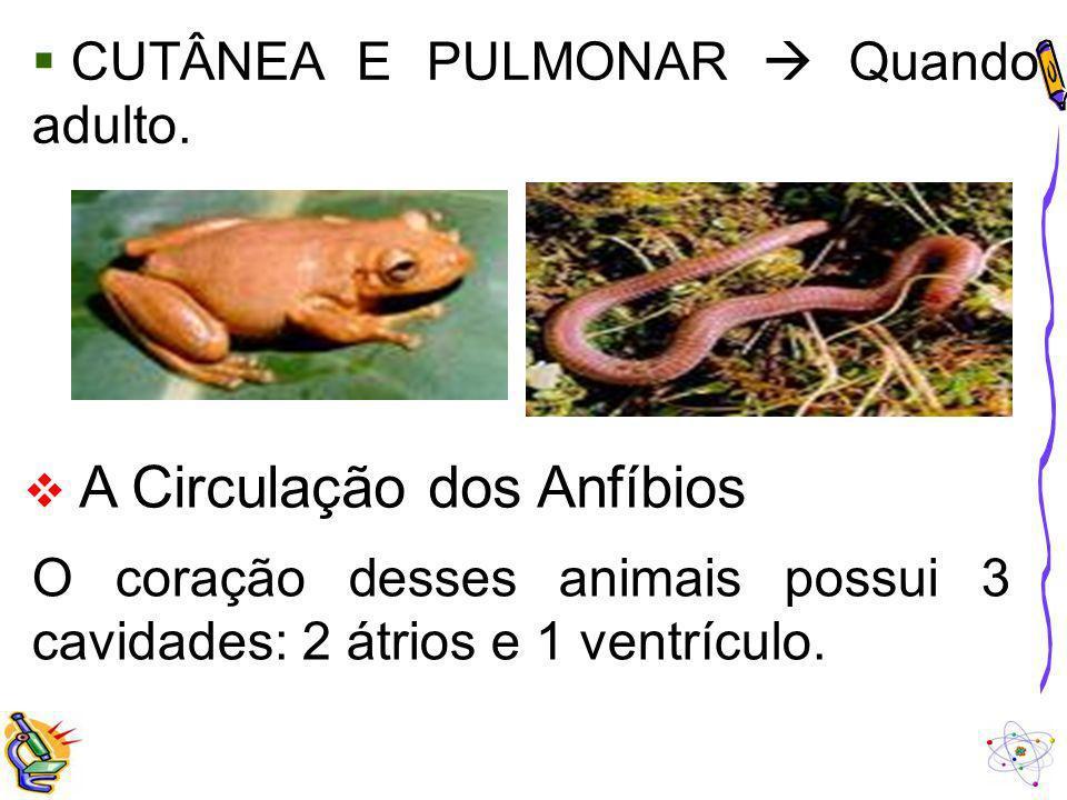 CUTÂNEA E PULMONAR Quando adulto. A Circulação dos Anfíbios O coração desses animais possui 3 cavidades: 2 átrios e 1 ventrículo.