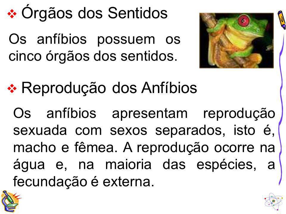 Órgãos dos Sentidos Os anfíbios possuem os cinco órgãos dos sentidos. Reprodução dos Anfíbios Os anfíbios apresentam reprodução sexuada com sexos sepa