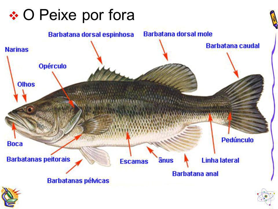 A Temperatura dos Peixes Os peixes são PECILOTÉRMICOS, isto é, a temperatura corporal desses animais acompanha mais ou menos a temperatura do ambiente, ou seja, a temperatura desses animais varia com o ambiente.