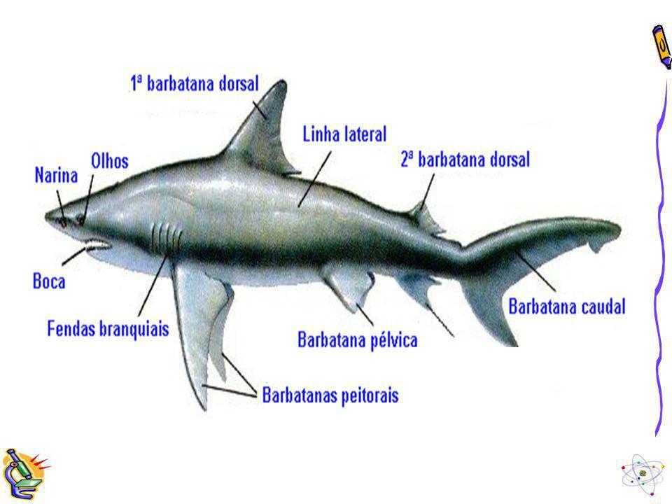Principais estruturas dos Peixes Além dos cinco sentidos que os humanos possuem (visão, audição, paladar, olfato e tato), os peixes possuem outro: a linha lateral.