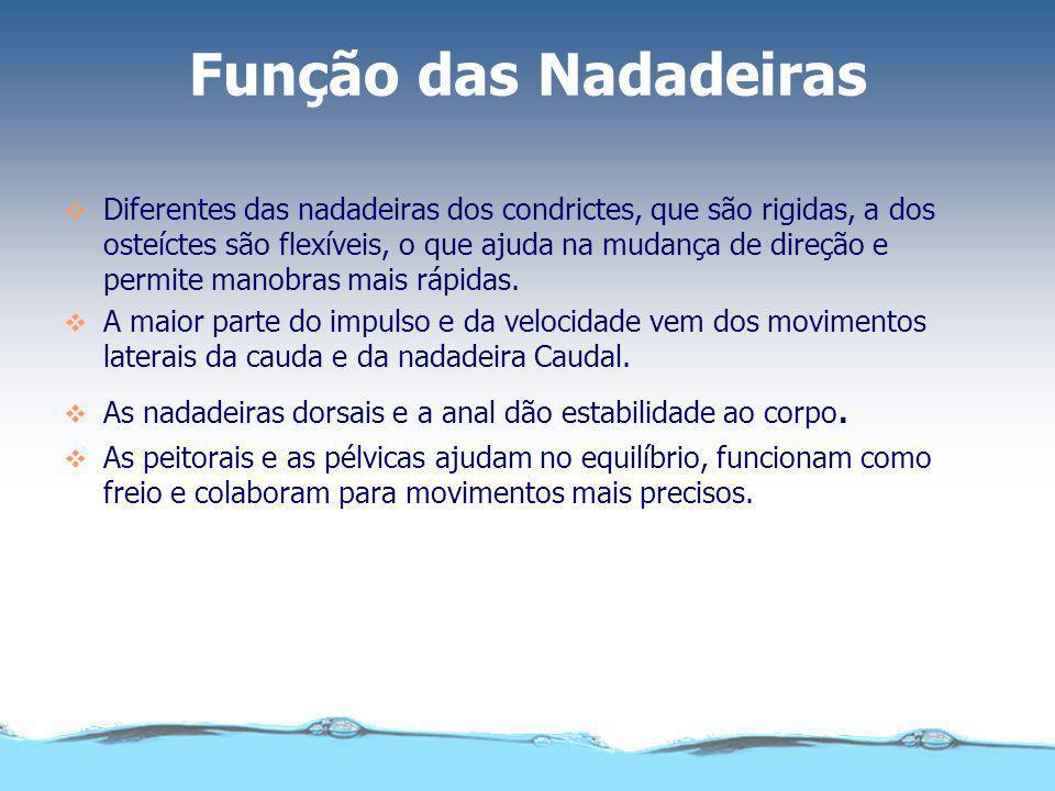 Função das Nadadeiras Diferentes das nadadeiras dos condrictes, que são rigidas, a dos osteíctes são flexíveis, o que ajuda na mudança de direção e pe