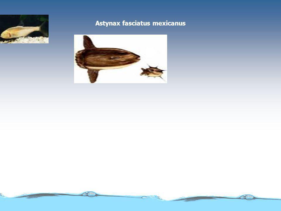 CURIOSIDADES: O cavalo-marinho é um peixe.O macho é que fica grávido.