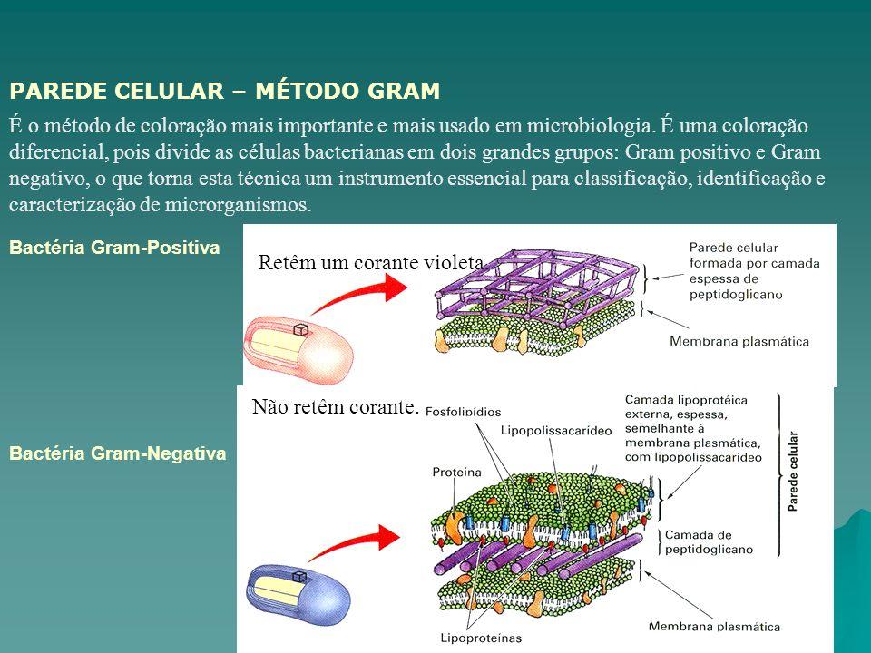 Biologia - AUGUSTA BASTOS Bactéria Gram-Positiva Bactéria Gram-Negativa É o método de coloração mais importante e mais usado em microbiologia. É uma c