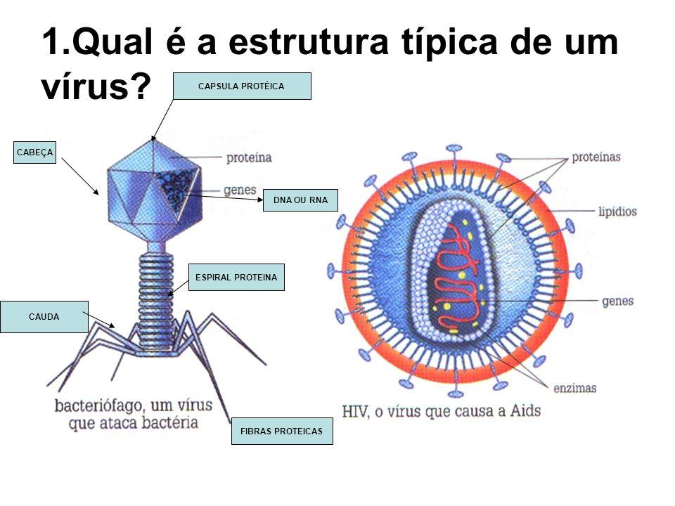 1.Qual é a estrutura típica de um vírus? CABEÇA CAPSULA PROTÉICA ESPIRAL PROTEINA DNA OU RNA FIBRAS PROTEICAS CAUDA