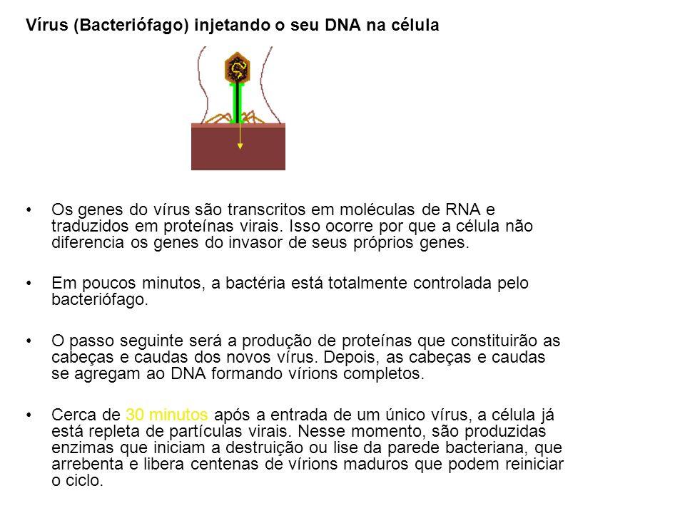 Vírus (Bacteriófago) injetando o seu DNA na célula Os genes do vírus são transcritos em moléculas de RNA e traduzidos em proteínas virais. Isso ocorre