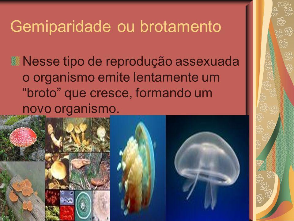 Gemiparidade ou brotamento Nesse tipo de reprodução assexuada o organismo emite lentamente um broto que cresce, formando um novo organismo.