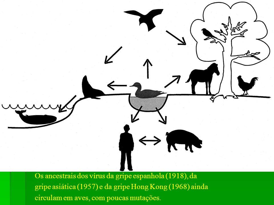 Os vírus da influenza descendem todos de aves. Os vírus aviários teriam evoluído para 5 grandes linhagens. As linhagens suína e humana seriam genetica