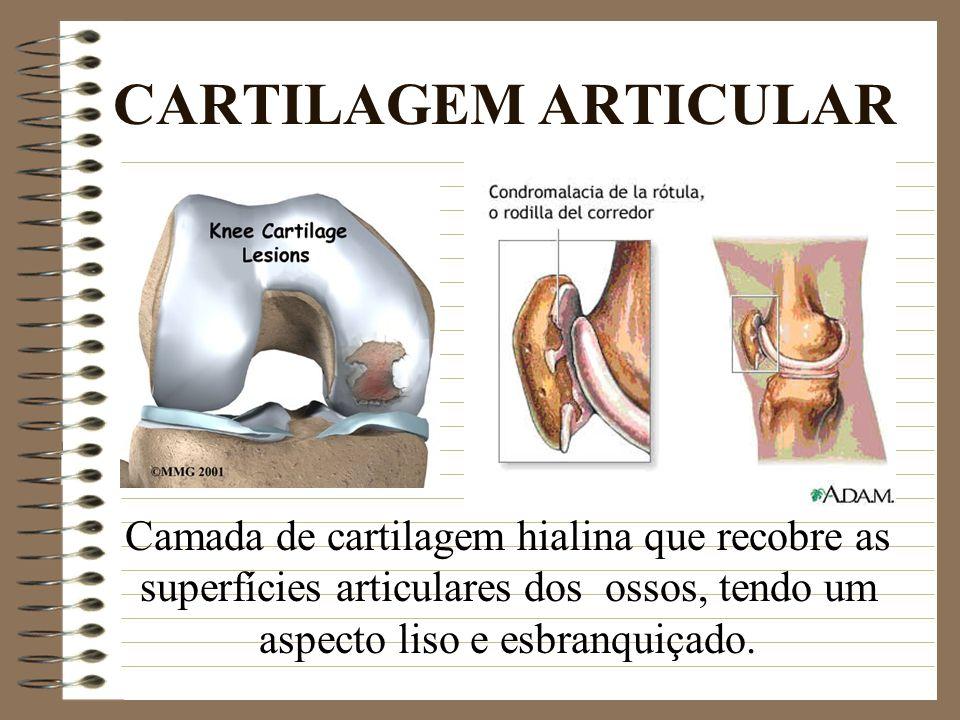 CARTILAGEM ARTICULAR Camada de cartilagem hialina que recobre as superfícies articulares dos ossos, tendo um aspecto liso e esbranquiçado.