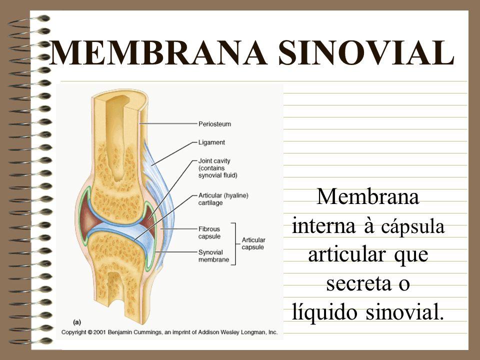 MEMBRANA SINOVIAL Membrana interna à cápsula articular que secreta o líquido sinovial.