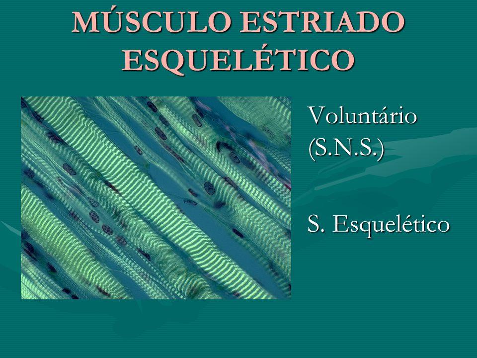 MÚSCULO ESTRIADO ESQUELÉTICO MÚSCULO ESTRIADO ESQUELÉTICO Voluntário (S.N.S.) S. Esquelético