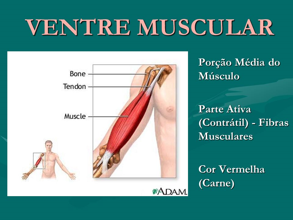 VENTRE MUSCULAR VENTRE MUSCULAR Porção Média do Músculo Parte Ativa (Contrátil) - Fibras Musculares Cor Vermelha (Carne)