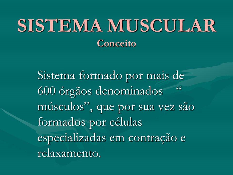 SISTEMA MUSCULAR Conceito Sistema formado por mais de 600 órgãos denominados músculos, que por sua vez são formados por células especializadas em contração e relaxamento.