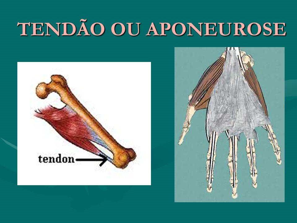 TENDÃO OU APONEUROSE TENDÃO OU APONEUROSE