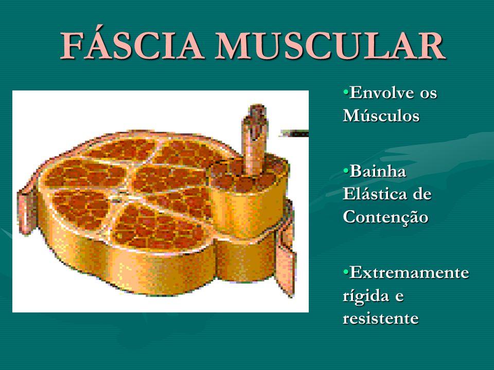 FÁSCIA MUSCULAR FÁSCIA MUSCULAR Envolve os MúsculosEnvolve os Músculos Bainha Elástica de ContençãoBainha Elástica de Contenção Extremamente rígida e resistenteExtremamente rígida e resistente