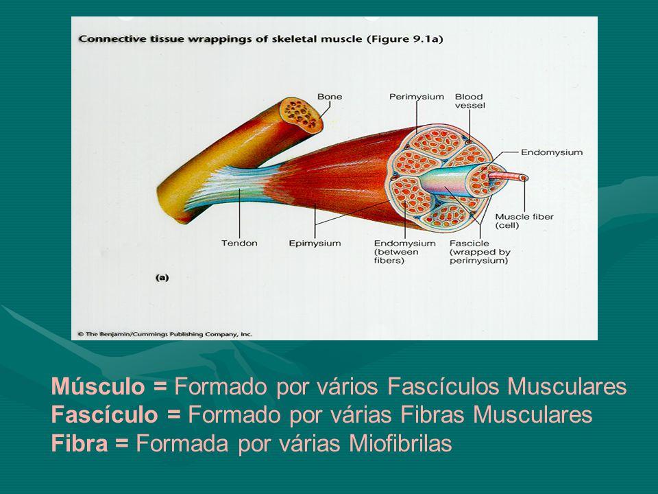 Músculo = Formado por vários Fascículos Musculares Fascículo = Formado por várias Fibras Musculares Fibra = Formada por várias Miofibrilas