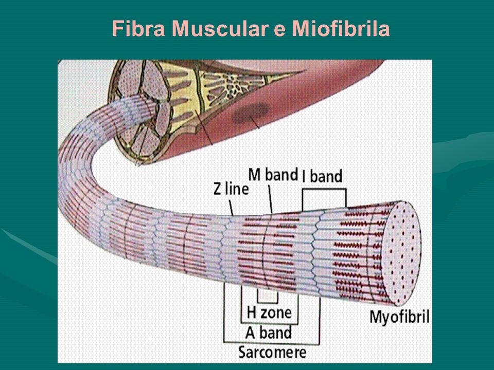 Fibra Muscular e Miofibrila