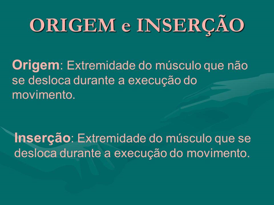 ORIGEM e INSERÇÃO Origem : Extremidade do músculo que não se desloca durante a execução do movimento. Inserção : Extremidade do músculo que se desloca
