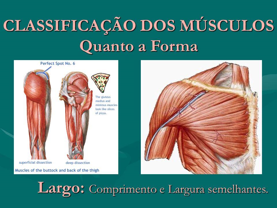 CLASSIFICAÇÃO DOS MÚSCULOS Quanto a Forma Largo: Comprimento e Largura semelhantes.
